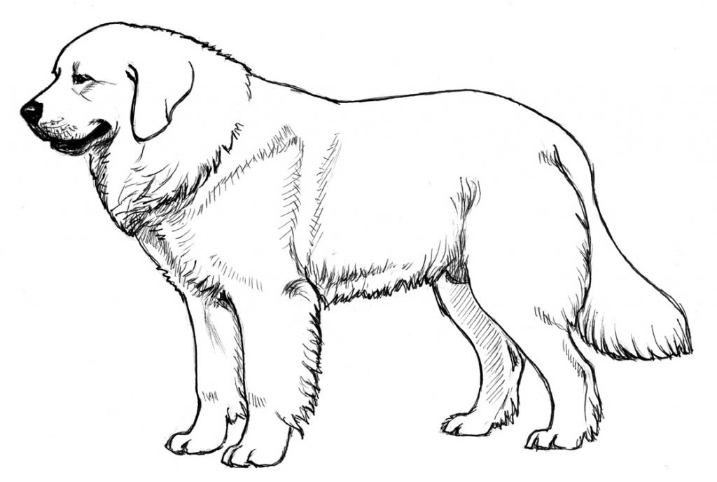 owczarek podhalański